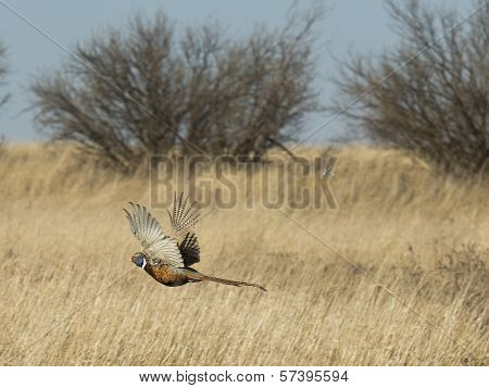 Escaping Pheasant