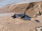 A couple of Canada geese walking in the mud. poster