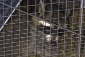 North American raccoon (Procyon lotor) caught in a live trap poster