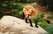 red fox outside on stone in park canine furry wildlife poster