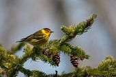 Cape May Warbler on a branch during spring migration. poster