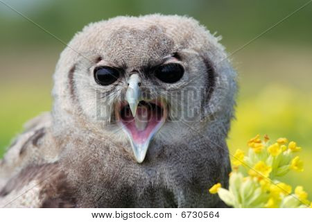 Baby Owl in a Meadow