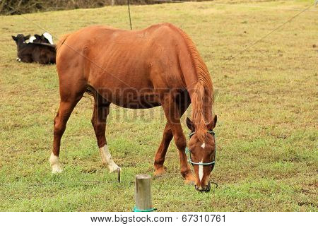 Brown Horse Grazing in a Pasture