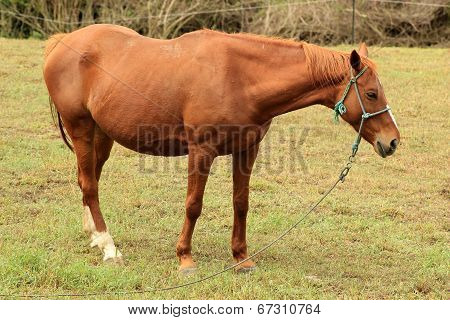 Brown Mare in a Meadow