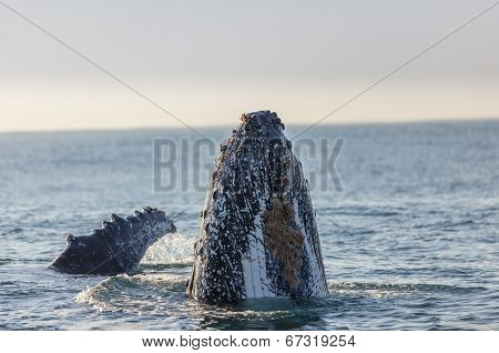 Humpback whale's nose surfacing