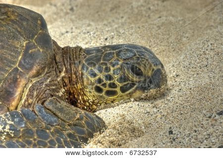 Turtle laying on the sand. Close up of one lazy green hawaiian sea turtle sunbathing on the beach.HDR. poster