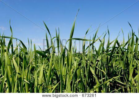 Grass & Blue Sky