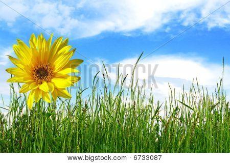 Sunflower And Green Grass