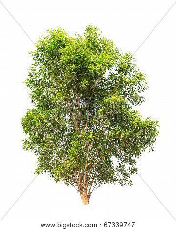 Acacia Auriculiformis, Commonly Known As Auri, Earleaf Acacia, Earpod Wattle, Northern Black Wattle,