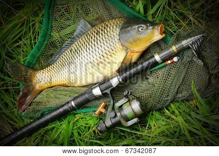Catching fish. The Common Carp (Cyprinus Carpio) with fishing rod and landing net.