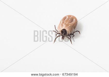 Tick - parasitic arachnid blood-sucking carrier of various diseases