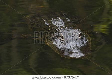American Alligator (alligator Mississippiensis) In Everglades National Park, Florida