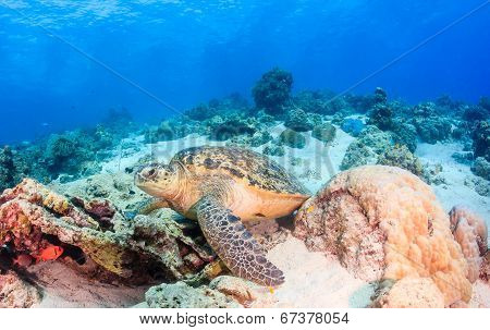 Green Turtle on a reef