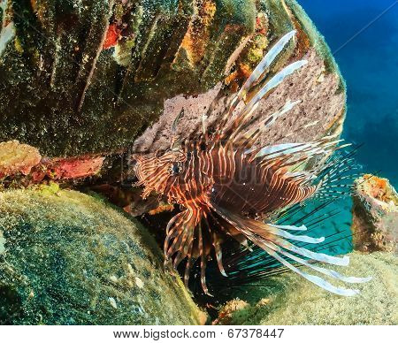 Lionfish on a reef