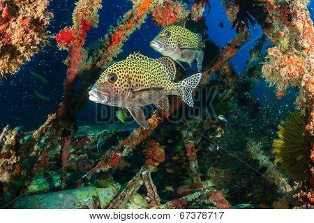 Harlequin Sweetlips being cleaned by Wrasse on an underwater wreck poster