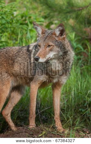 Coyote (Canis latrans) Stands Alert - captive animal poster