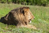 Lion licking his lips. Schotia game reserve, Eastern Cape, Soth Africa poster