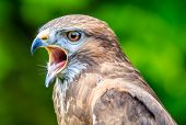 Falcon head with an open beak and green background poster