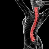3d rendered illustration of the female Vertebral column - back view poster