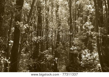 Subtropical Laurisilva Forest In Gomera. Canary Island. Spain.