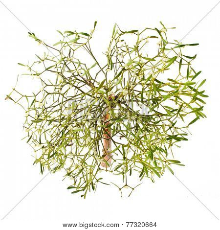 The Common Mistletoe (Viscum album) leaves are used in herbal medicine for treating circulatory and respiratory system problems. It has a significant role in European mythology, legends, and customs.