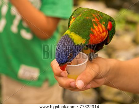 Colorful Lori Parrot Drinking Whilst sitting On a Hand