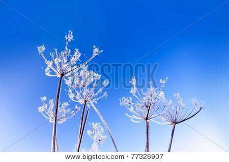 Frosty Flower Heads Under Blue Skies