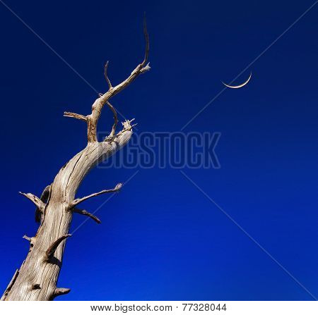 Dead Tree Reaches Up To A Crescent Moon