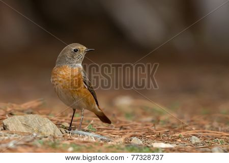 Common Redstart On The Ground