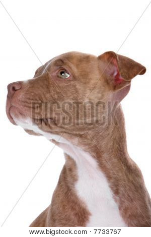 head of red nose pitbull puppy isolated on a white background poster