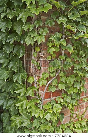 Ivy leaves climb up an old brick wall