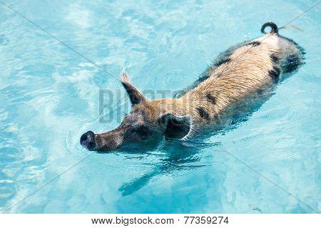 Pig swimming in a water near island of Exuma Bahamas