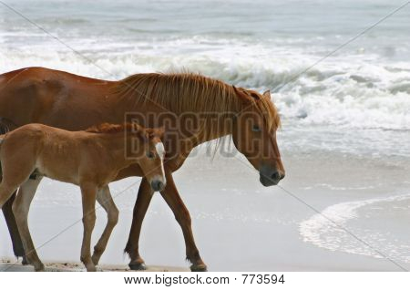 Wild Horses roam beach in North Carolina, Outer Banks poster