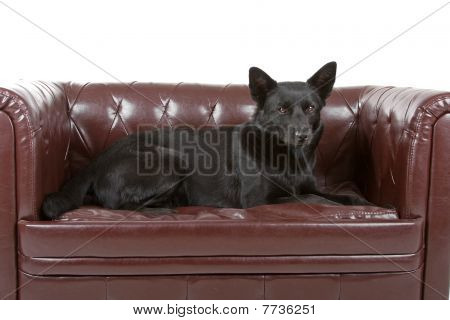 australian sheepdog Kelpie