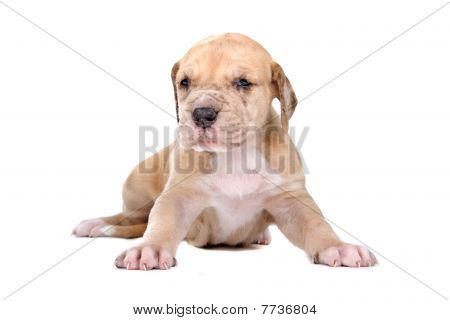 front view of a cute great dane puppy dog poster