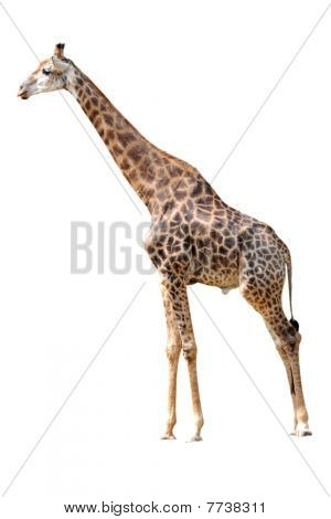 Animal Giraffe Isolated