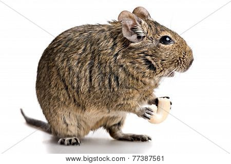 small rodent stands profile with food in paws full-size front view isolated on white background poster