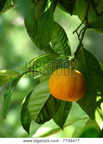Mandarin on the tree
