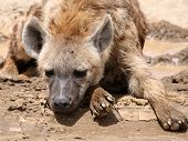 Spotted hyena (Crocuta crocuta) relaxing on the Masai Mara in Kenya. poster