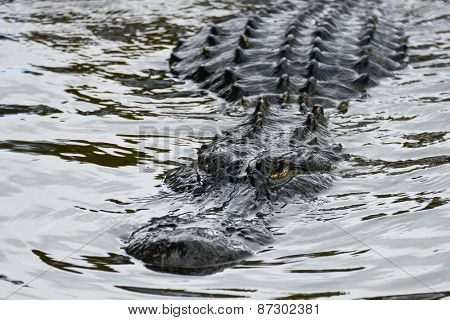 Alligator stealth in river