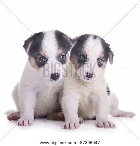 Two Puppies Mestizo