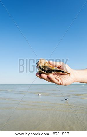 Hand Holding a Lighting Whelk Sea Shell on the Beach