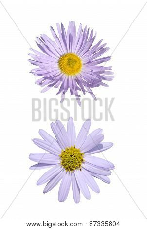 Two Purple  Asteraceae
