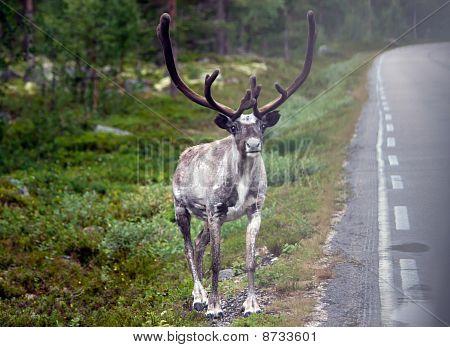 Reindeer By The Road