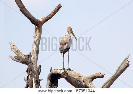 Yellow-billed Stork On A Tree