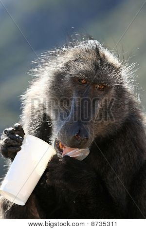 Baboon Take Away Fod