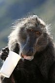Big wild baboon licking a fast food take away cup poster