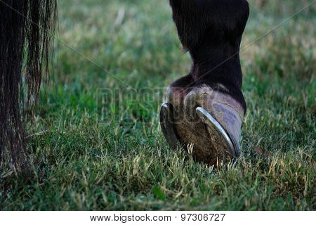 Horse hoof on grass close up