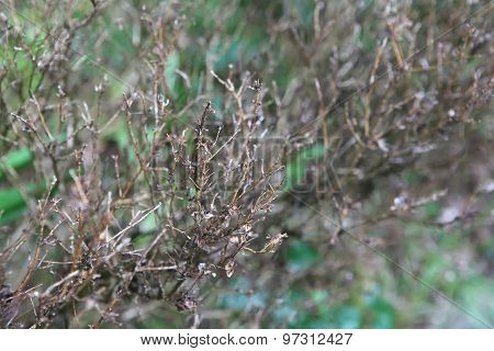 Dead Boxwood Bush