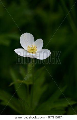 Anemone Canadensis (canada Anemone)